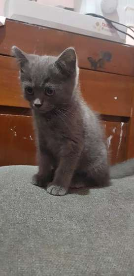 Ready To Adopt kitten BSH non ped