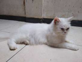 Kucing persia long hair odd eye