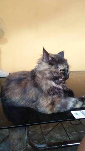 Adopsi kucing fersia