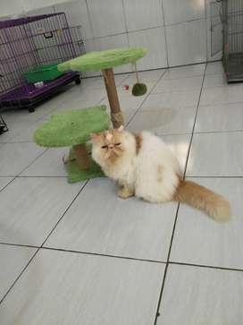 Kucing persia peaknose betina umur 1 tahun baru birahi