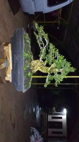 bonsai boxsus indonesia