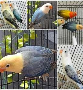 Lovebird biola paud borongan aja murah