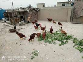 RIR/Australorp Male Available For Sale|RIR Good For Meat|Murga Desi