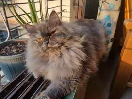 Semi puch face pure persian kittens for sale