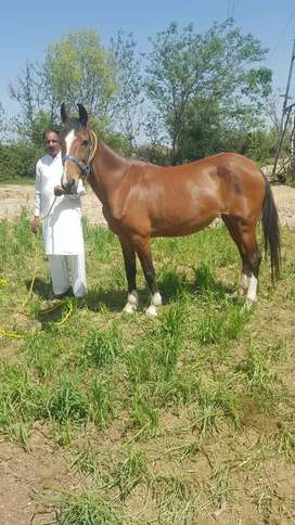 Kumait 5 kaliyan double body mare