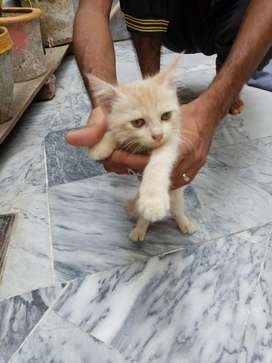 3 month Persian cat for sale
