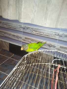 Small parrot