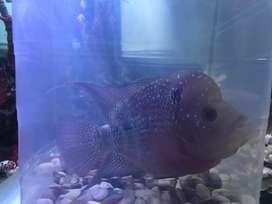 Ikan louhan SRD 4ekor. Edisi kuras aquarium