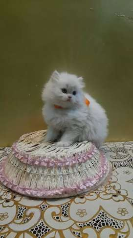Pure breed baby persian cat kitten sale best price