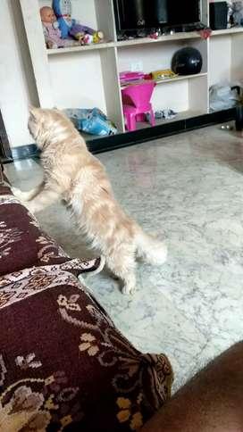 Partian Cat