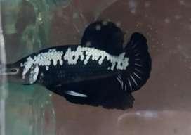 Ikan Cupang black samurai size s+