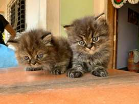 persian male kitten available