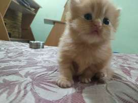 Ginger colour female kitten