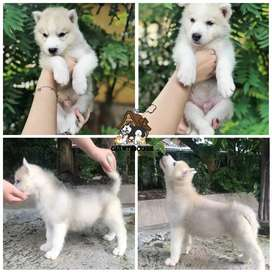 Jual Siberian Husky Eropa Puppy Anakan Murah