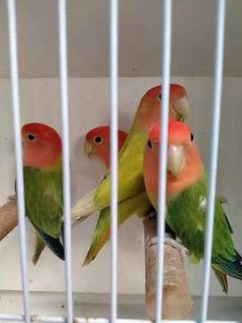 Lovebird opaline non klep jantan