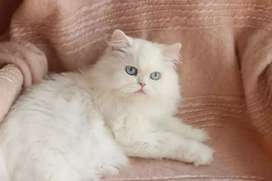 Very active friendly Persian kittens for sale