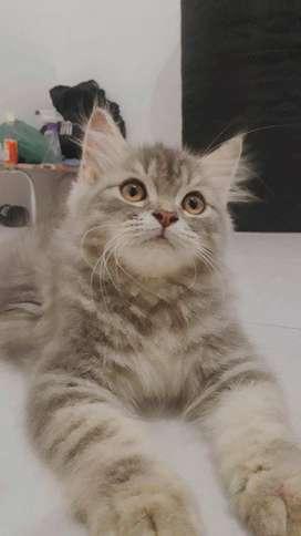 Kucing jantan lincah