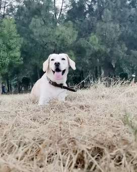 Retriever , 11 months ,fully trained , very intelligent dog