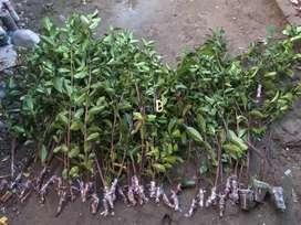 Cangkok eprek tuk bahan bonsai dan taman