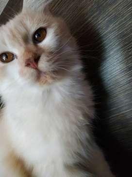Adopsi kucing Persia dgn ganti biaya pemeliharaan. Usia 1 thn sehat.