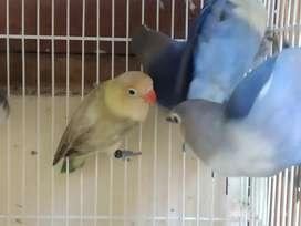 lovebird Violet fc bataman fc dll