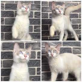 Persia mix ragdoll jantan 4,5 bulan BEKASI CAT HOUSE