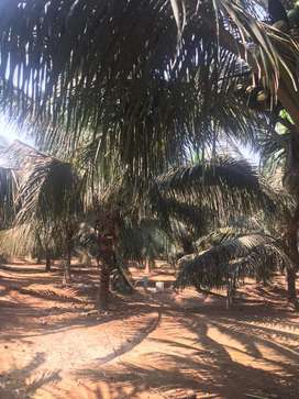 Coconut farm/agriculture land/agricultural land/agriland/farmland/land