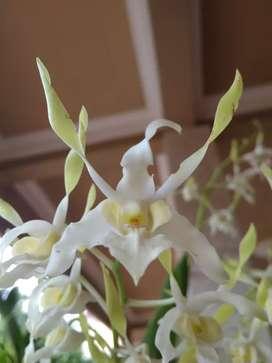 Anggrek Dendrobium Rabbit White Spatulata (guess)