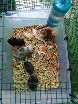 hamster lucu 10 ribuan