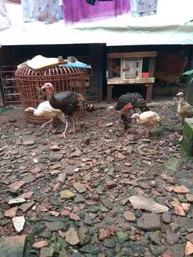 Ayam kalkun anakan ready plaju palembang
