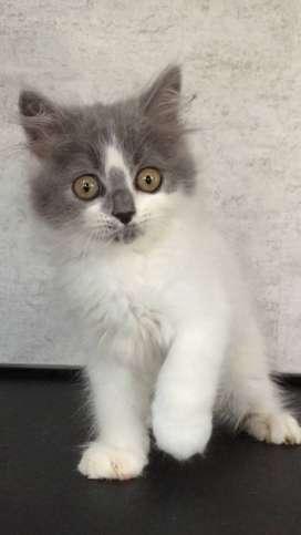 Lizzo - Kucing Persia 2,5 Bulan Jantan