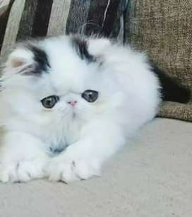 Pure persian kitten for sale