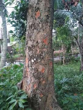 Jual pohon nangka lebih kurang 20 tahun