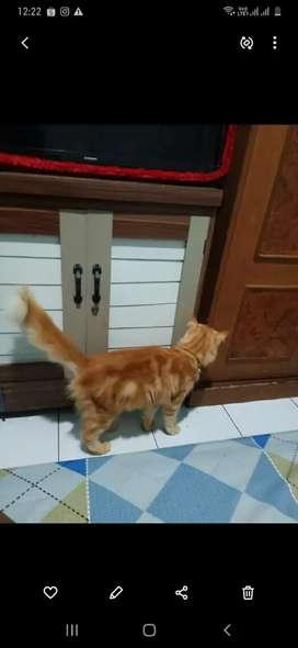 Kucing Anggora Betina