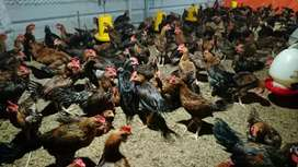 Ayam Kampung Buras Murah Berkualitas