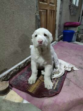Big size Alabai puppies available for import