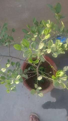 Lemon plant selling