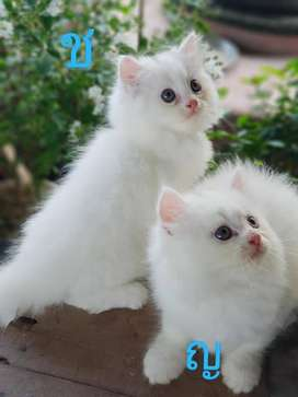 play full kitten sale cash on delivery