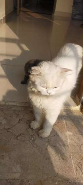 Snowhite Persian cat with olive eyes