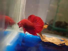 Cupang super red ukuran L