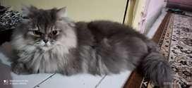 adult female persian cat