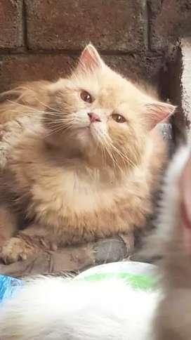 Pershian cat.S