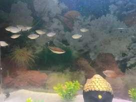 Large tetra fish