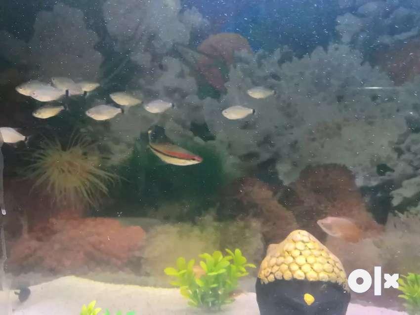 Large tetra fish 0