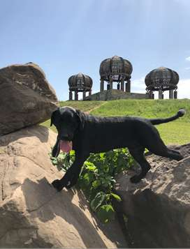 2 years old Purebred Black Labrador Boy in ISB seek new master