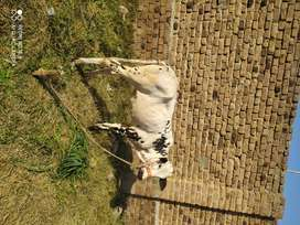 I am selling  healthy cow baby