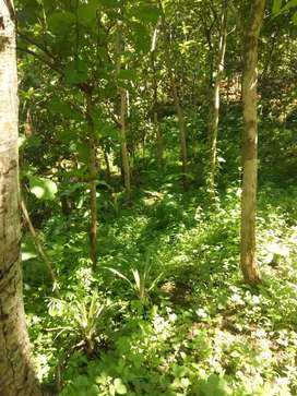 Tanah  luas 3624 m2 tanaman full jati