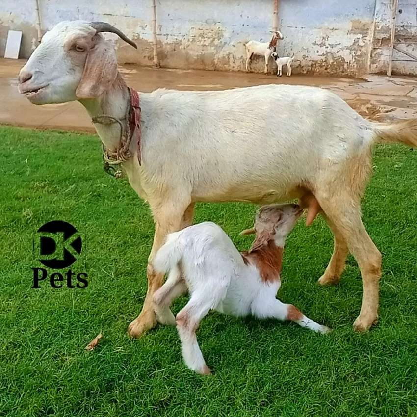 Goats with Kids 0