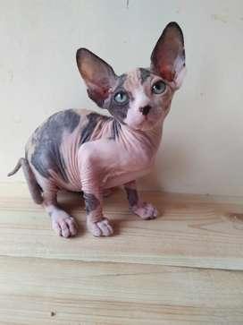 Kucing Sphynx betina 3bln