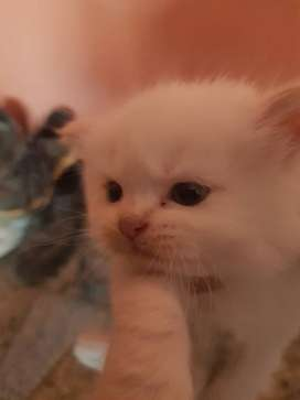Pure persian white tripple coat blue eyed female kitten and adult
